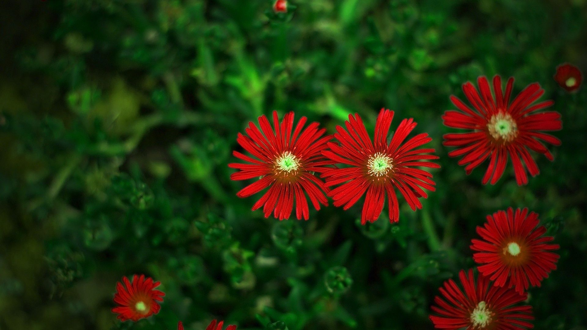 Red flowers wallpaper wallpapers for free download about (, 1920 ...
