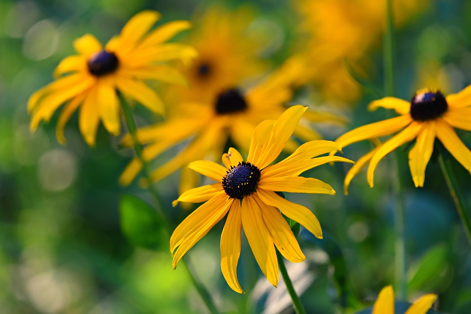 Black Eyed Susans Rudbeckia Hirta Collecting Planting Seeds Duffy Meadows Research Con Vegetable Garden For Beginners Black Eyed Susan Easy Perennials