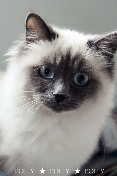 Oh my goodness..... adorable seal point kitty named Polly!