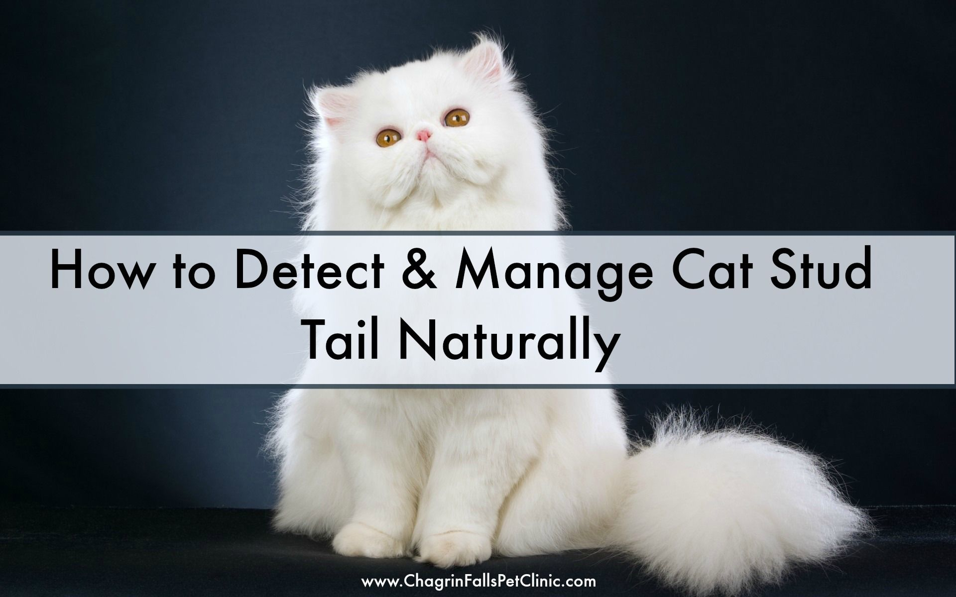 How to Detect & Manage Cat Stud Tail Naturally Cat