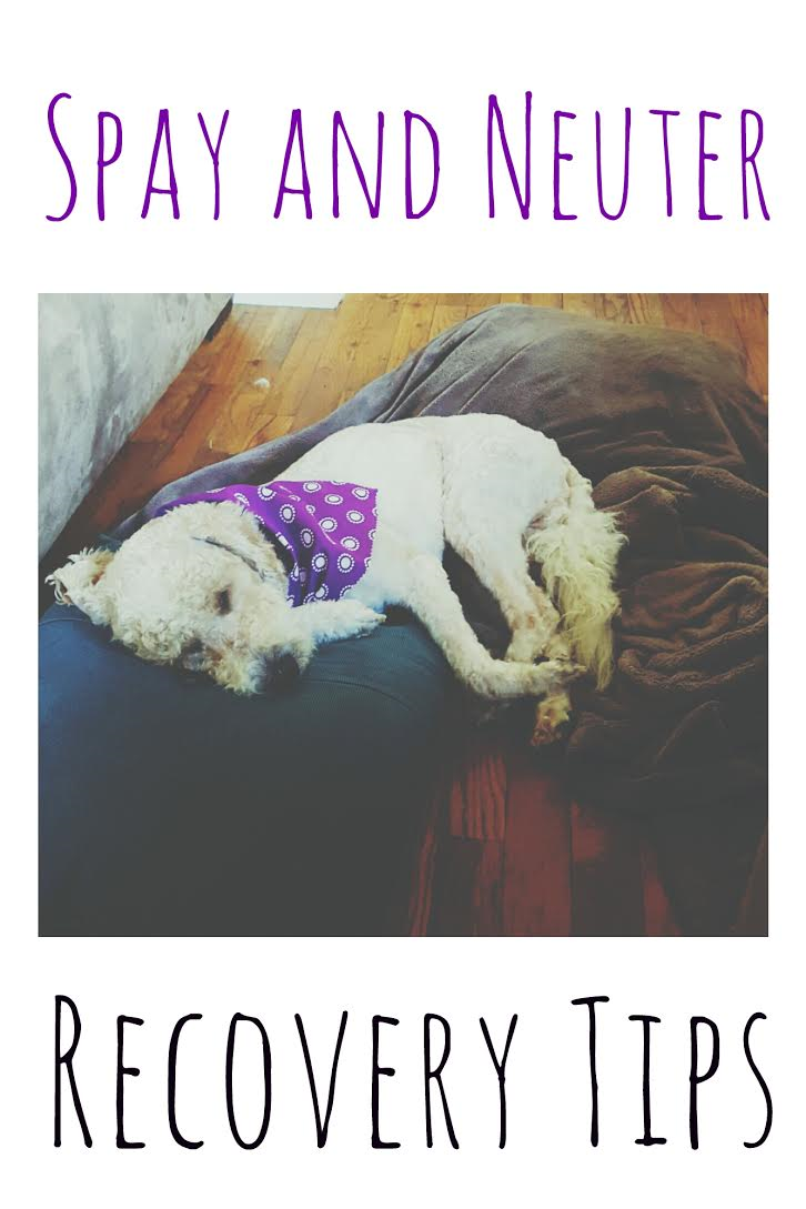 Quick Tips For Spay and Neuter Recovery in 2020 Dog spay