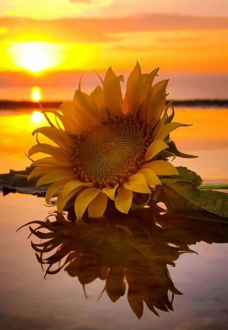 Summer Quotes : Sunflower sunrise