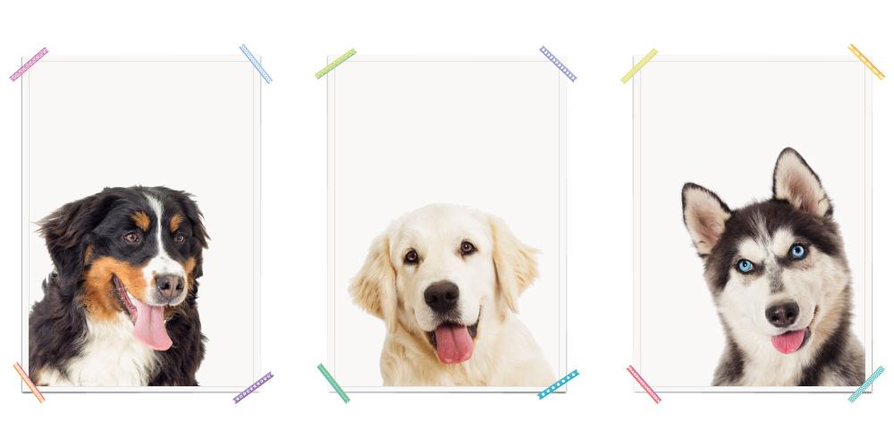 Sennenhund Labrador Husky Hunde Haustiere Poster