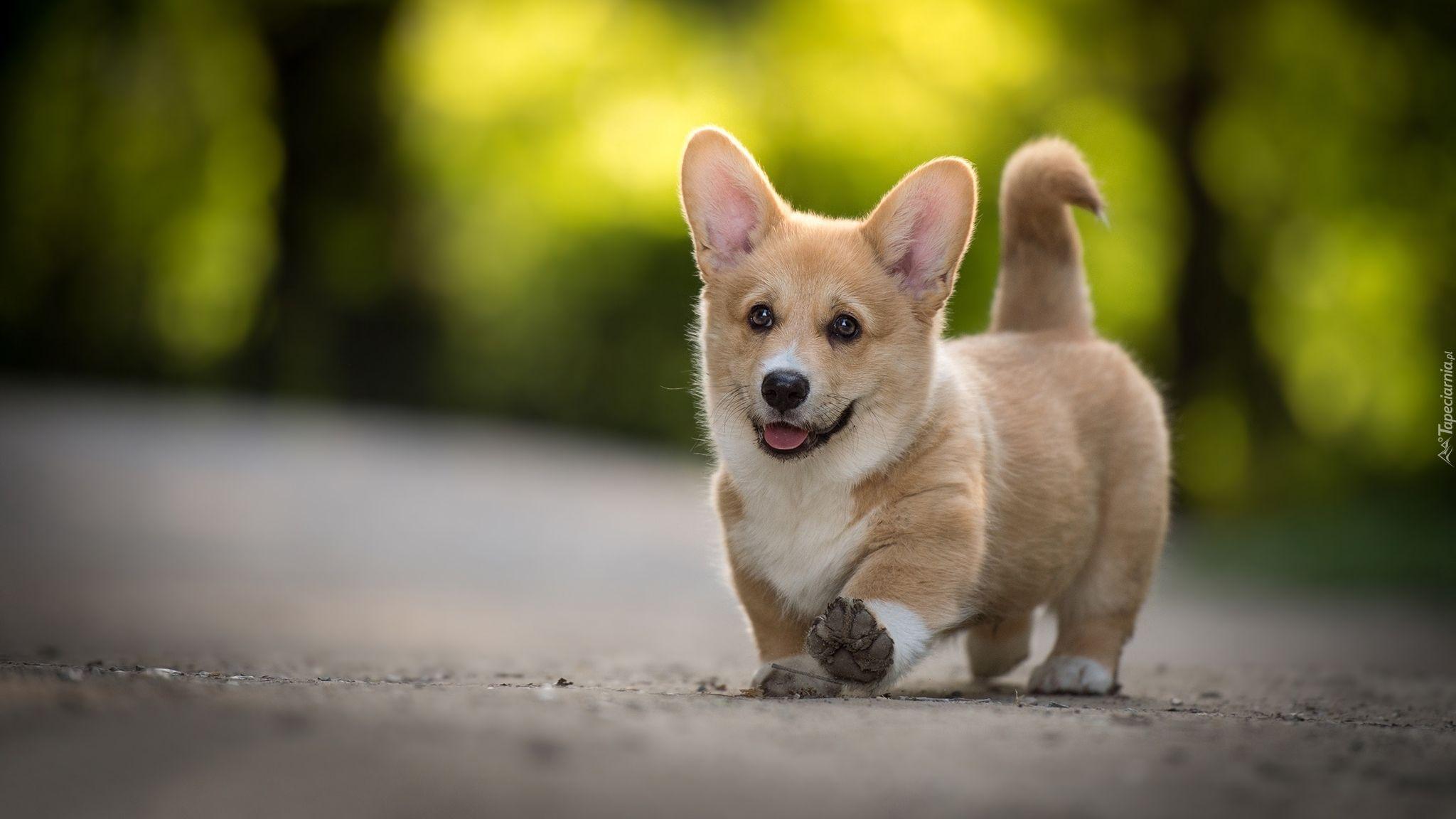 Pies Szczeniak Welsh Corgi Pembroke ペット ペット用品