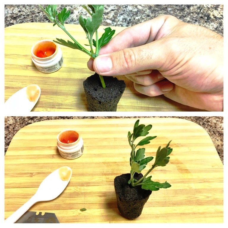 How To Use Rapid Rooter Plugs To A Clone Plant Nosoilsolutions Cloning Plants Clone Plants