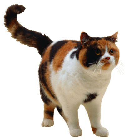 British Shorthair Calico | Cats | British shorthair, Cats