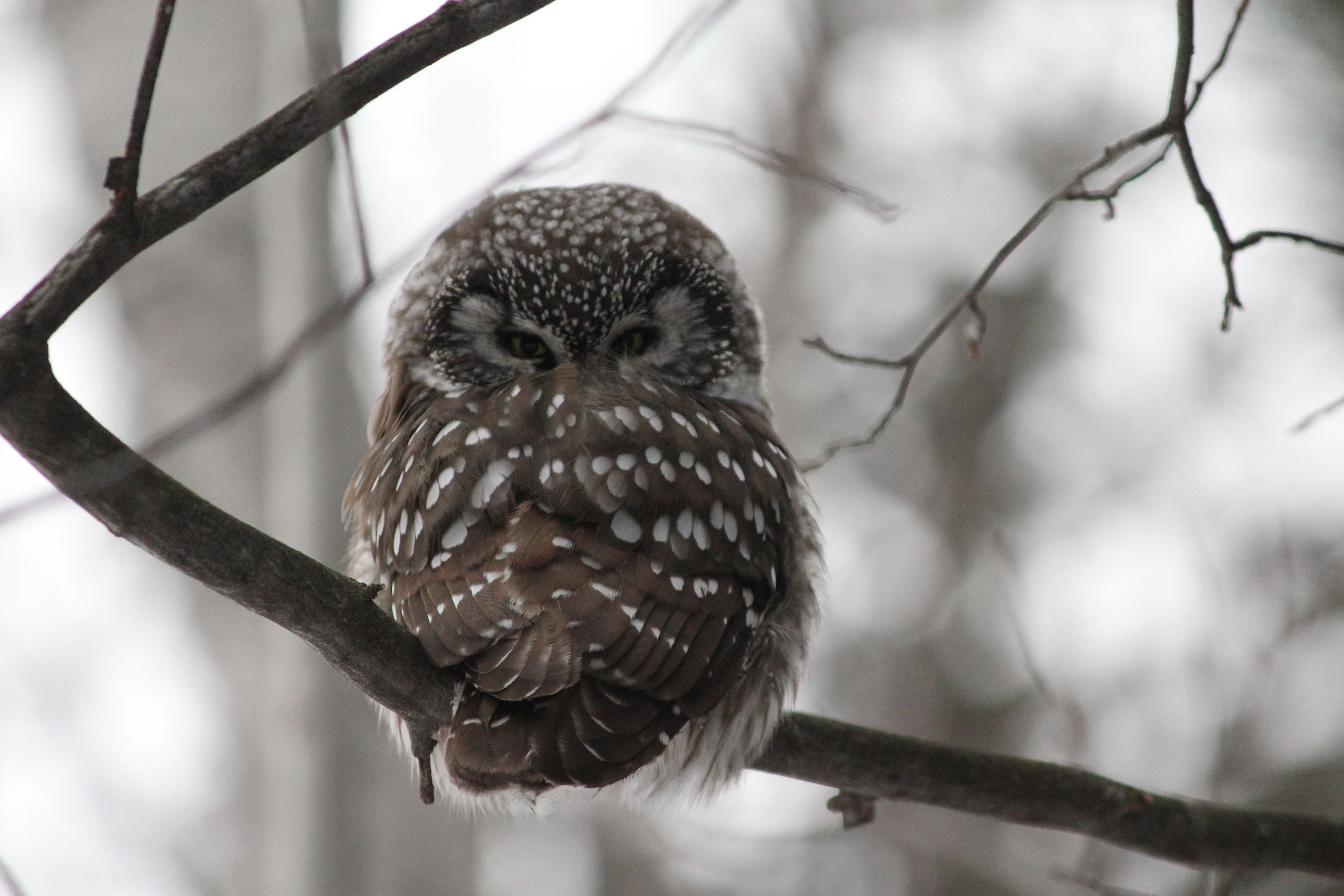 The Boreal Owl is an infrequent and very hard to find ...