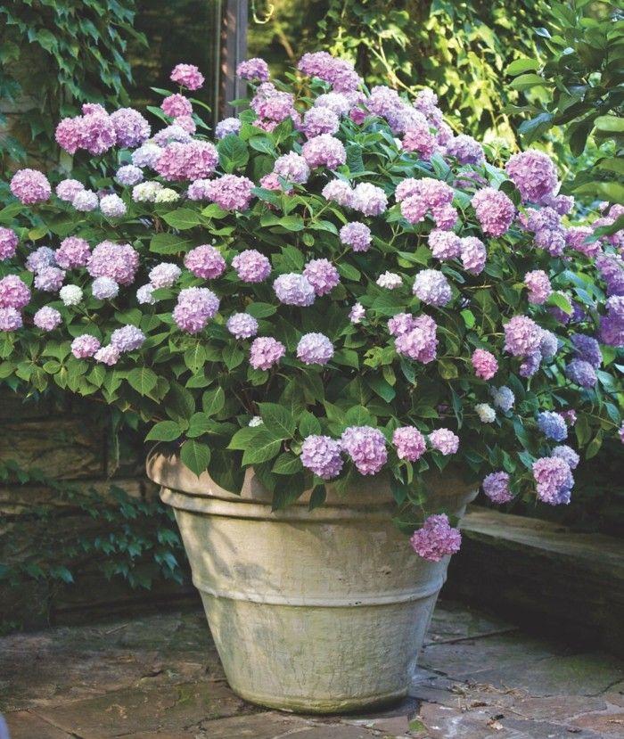 Die Hortensie Interessante Tatsachen Und Fabelhafte Gartengestaltungsbeispiele Kubelpflanzen Topf Und Kubelpflanzen Topfgarten