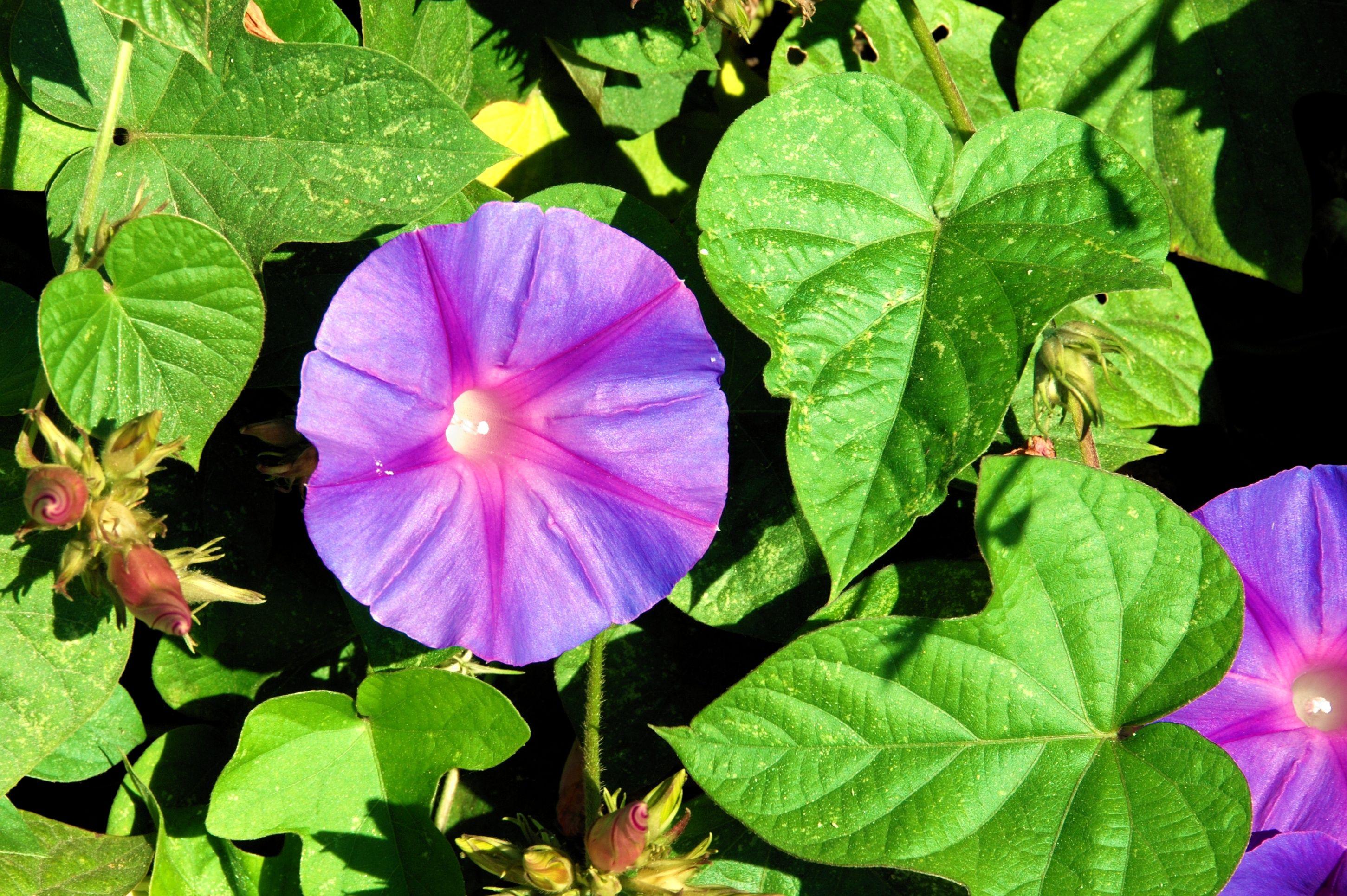 Ipomoea ipomoea purpura paraty pinterest paraty ipomoea ipomoea purpura izmirmasajfo Choice Image