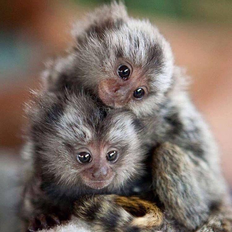 Pin By DayTripn Hawaii Travel Portal On Primates Monkey