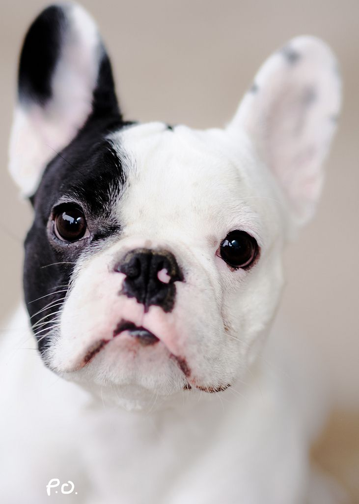 Frenchie Untitled Puppies Baby Dogs French Bulldog Puppies