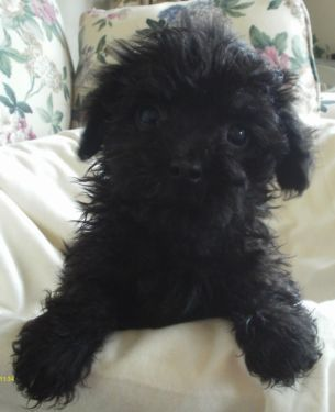 Poodle Havanese Havapoo Poovanese Female Havapoo Puppies Poodle Mix Dogs Puppies And Kitties