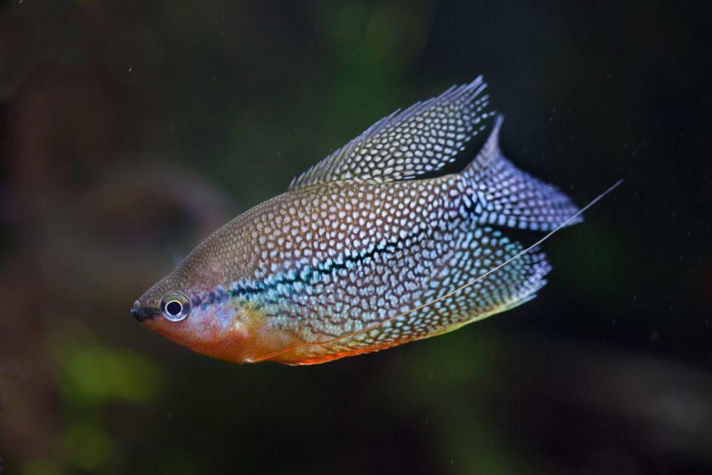 Pearl Gourami The Care Feeding And Breeding Of Pearl Gouramis Aquarium Tidings Floating Plants Fish Pet 20 Gallon Aquarium
