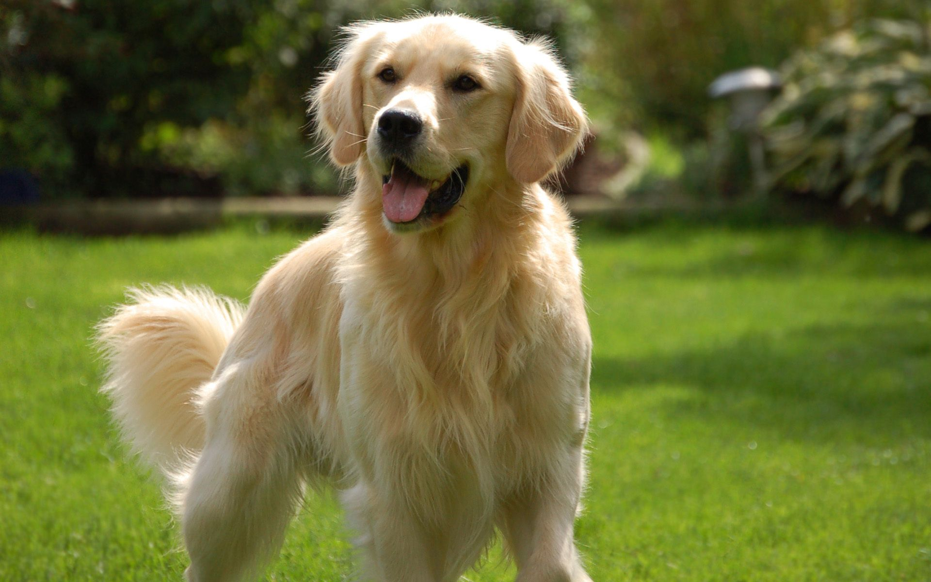 Click To See Hd Wallpapers Dogs Golden Retriever Popular Dog