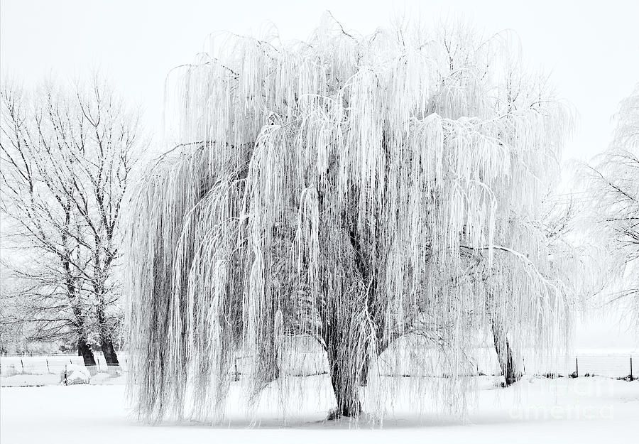 Winter Willow Tree Drawing Willow Tree Snow Art