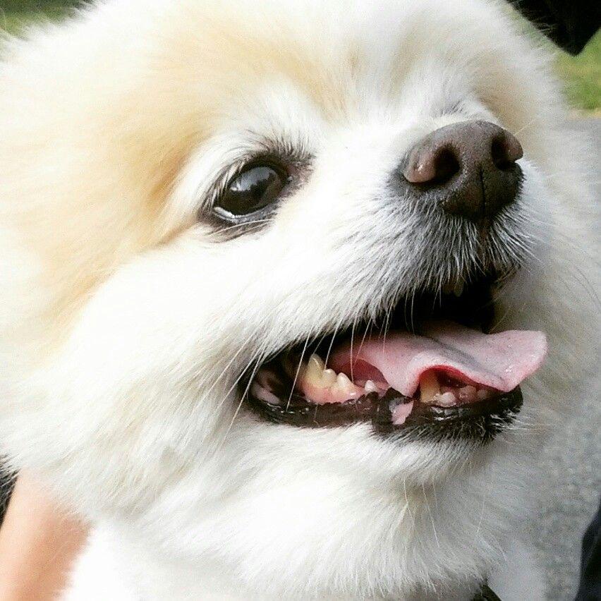 Crooked Tooth Stillperfect Pomeranian Dogloverstore Com S