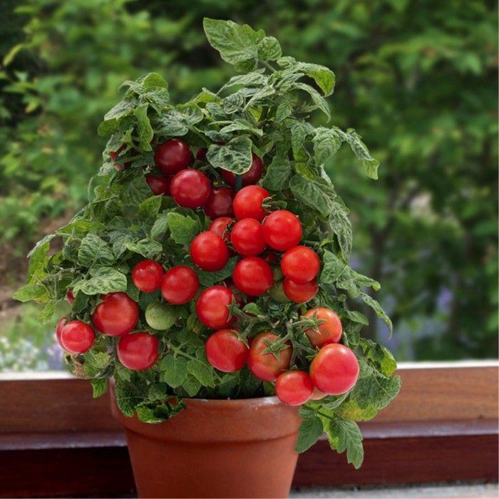 Red Dwarf Tomato Vilma Lycopersicon Esculentum Mill 400 x 300