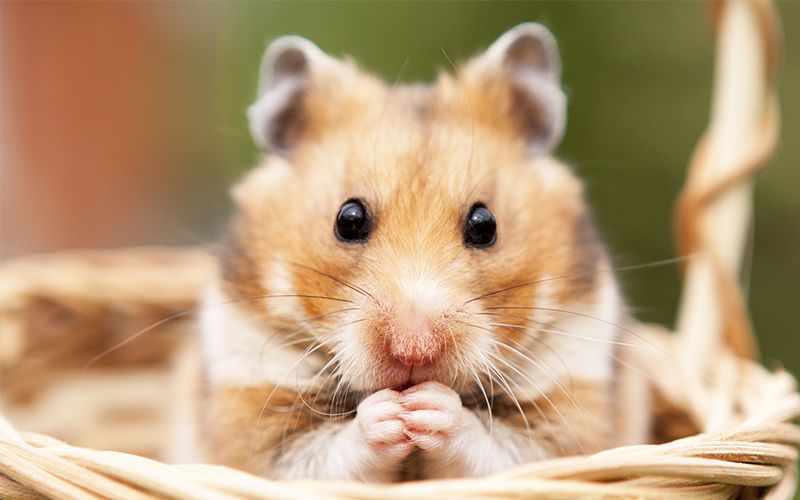 Boy Hamster Names 150 Awesome Ideas For Male Hamster Names Including Good Cute Cool And Unique Names Perfect For Syri Hamster Names Hamster Dwarf Hamster
