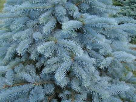 Blue Spruce Tree Cytospora Canker The Common Blue Spruce Trees