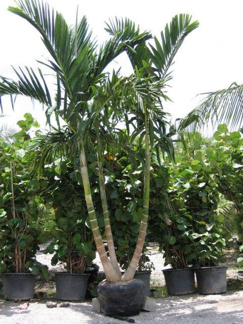 Alexander Palm Tree Tropical Garden Florida Trees Plants