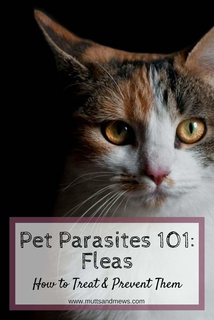 Pet Parasites 101 Fleas Kitten Care What Cats Can Eat Newborn Kittens