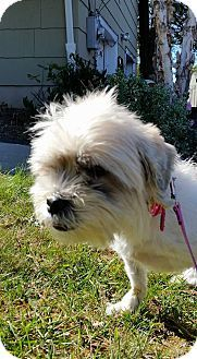 Bridgewater Nj Hunterdon Somerset Animal Rescue Center Lhasa Apso Shih Tzu Mix Meet Pricilla A Dog For Adoption Ht Lhasa Apso Animal Rescue Center Pets