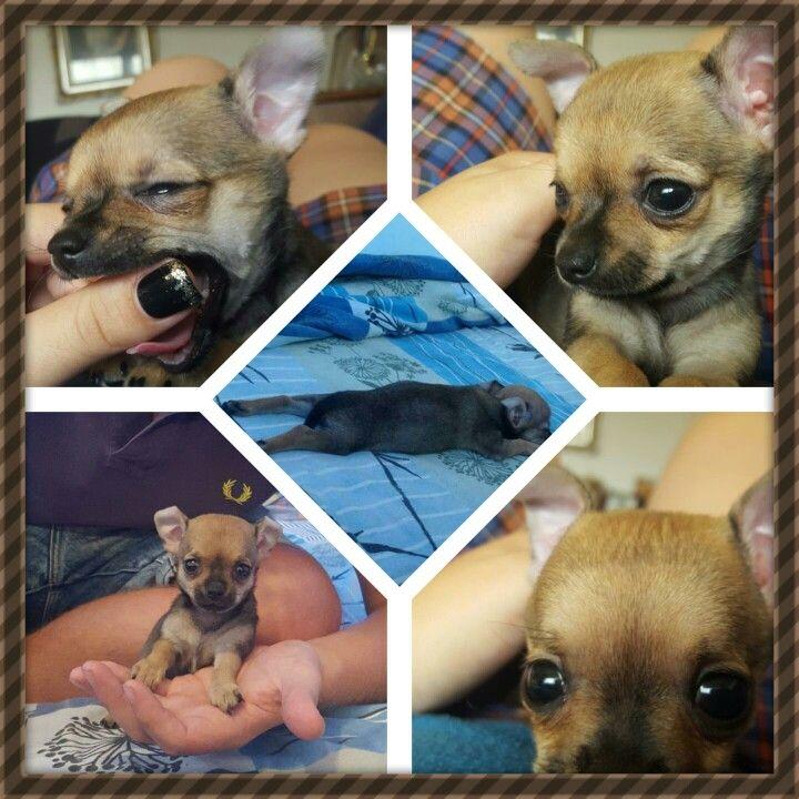 Growing Up Chihuahua French Bulldog Animals