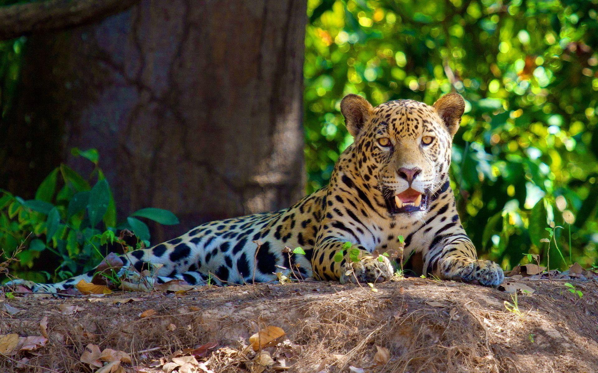 Jaguar In Amazon Jungle Rainforest Animals Amazon Rainforest