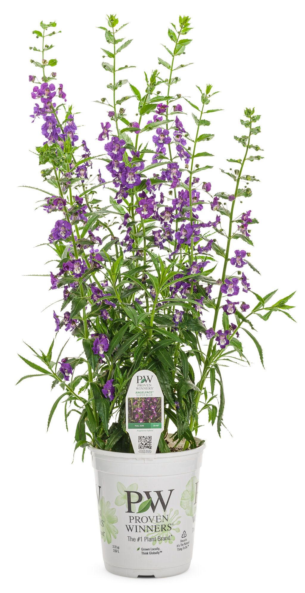Angelface Super Blue Summer Snapdragon Angelonia Hybrid