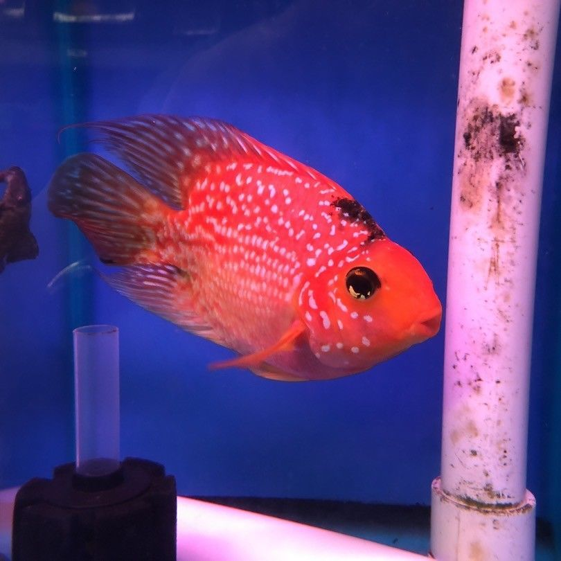 Red Crystal Parrot Cichlids Betta Fish Types Parrot Fish