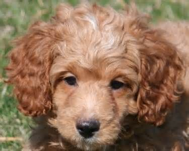 Image Detail For Miniature Poodle Puppies For Sale In Bragg Creek