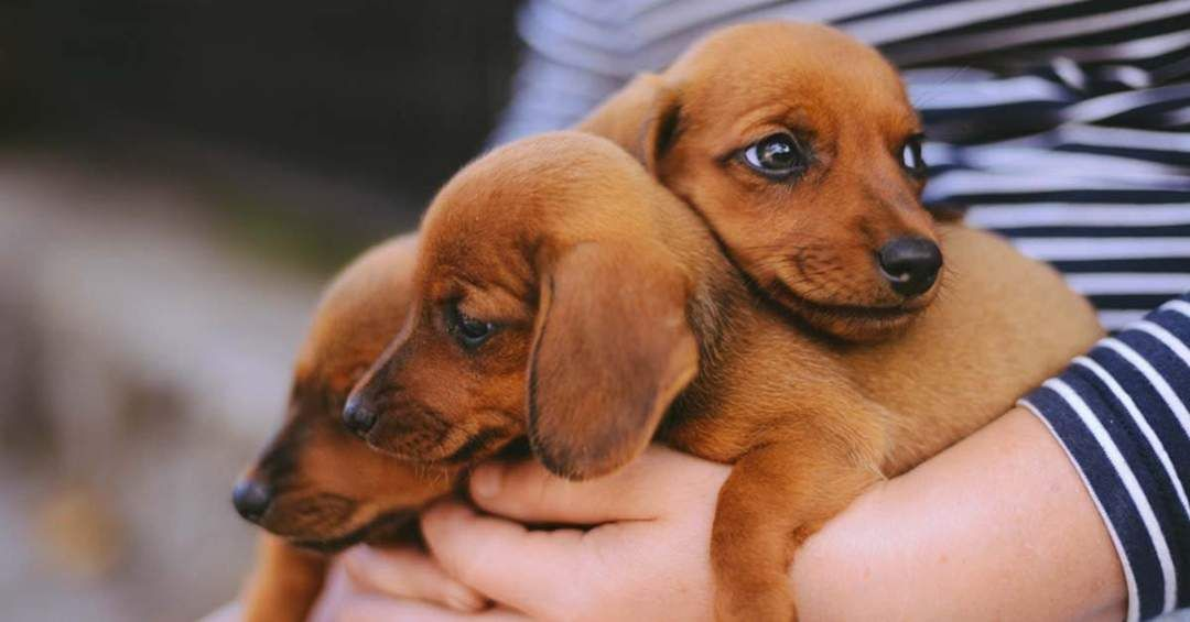 How To Prepare Your Home For A New Dachshund Puppy Dachshund