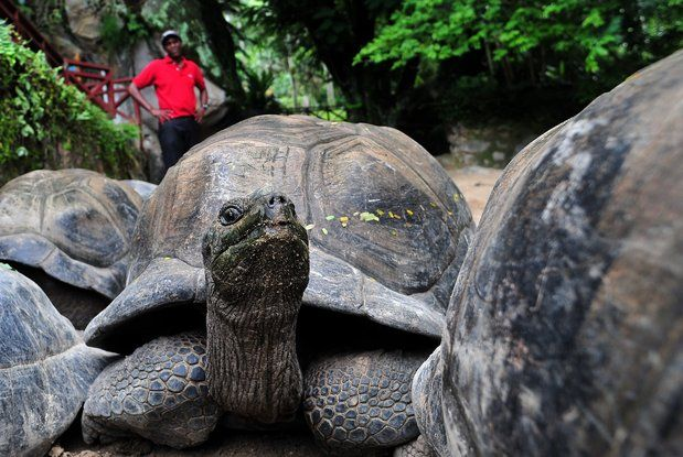 """Eventually...""..An Aldabra giant tortoise shown in los angeles Times article ""10 shocking facts about turtles?"" http://www.latimes.com/news/science/sciencenow/la-sci-sn-10-shocking-facts-about-turtles-20130409,0,2772814.photogallery?index=la-sci-sn-10-shocking-facts-about-turtles-2013"