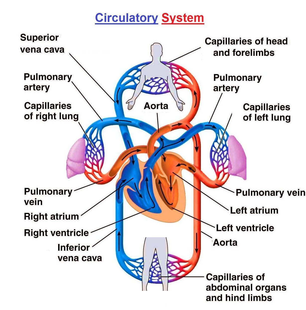 Pin By Vera Dodson On Scrub Life In 2020 Circulatory System