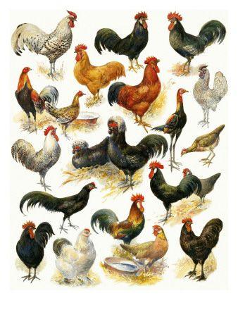 Aves De Corral Lamina Giclee Por English School En Allposters Com