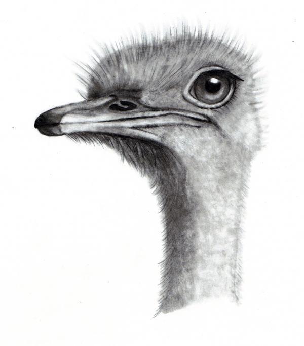 Ostrich Head in Pencil by Joyce Geleynse