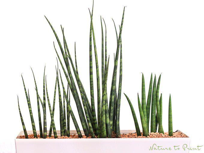 Zimmerpflanze Pflegeleicht bogenhanf sanseverie ist zwar eine pflegeleichte zimmerpflanze