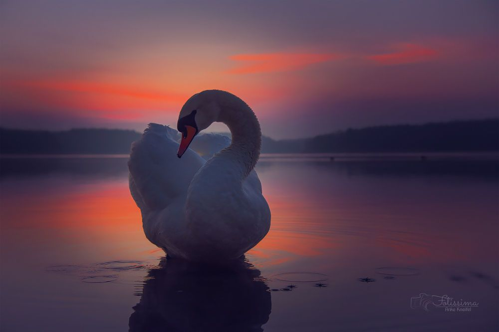 swan in twilight by Anke Kneifel on 500px