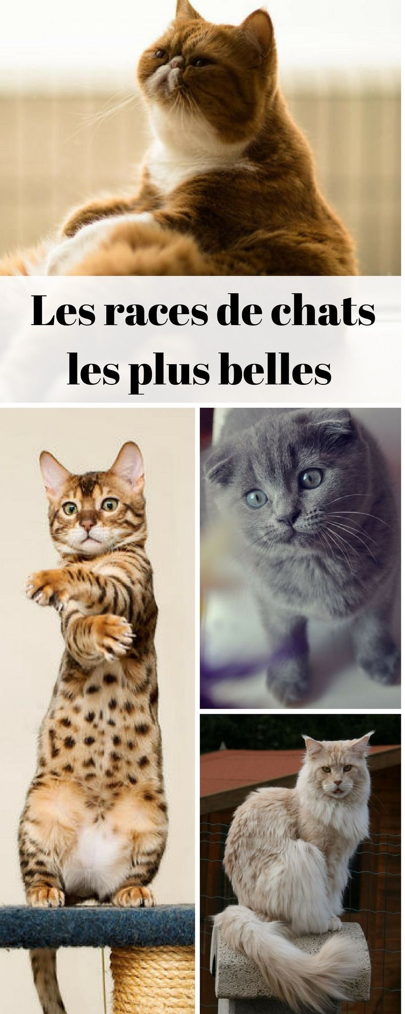 Chat Les Plus Belles Races Du Monde Chats Mignons