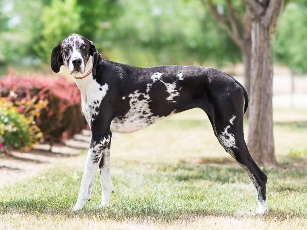 Adopt Lucy On Great Dane Dogs Dane Dog St Bernard Rescue