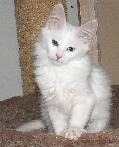 Turkish Angora I Ve Always Wanted A White Kitty With Two Different