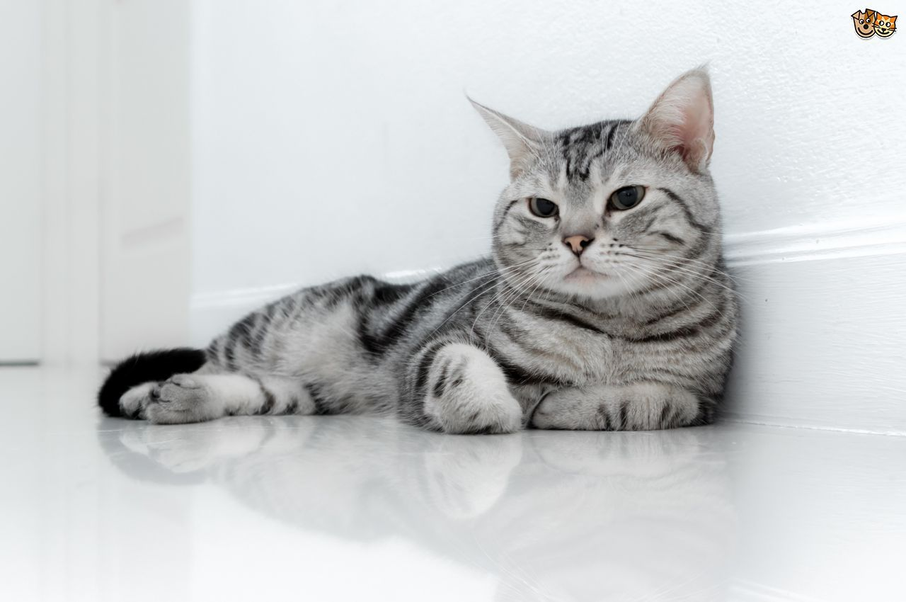 40 Most Beautiful American Shorthair Cat Pictures And Photos American Shorthair Cat Silver Tabby Cat Tabby Cat Pictures