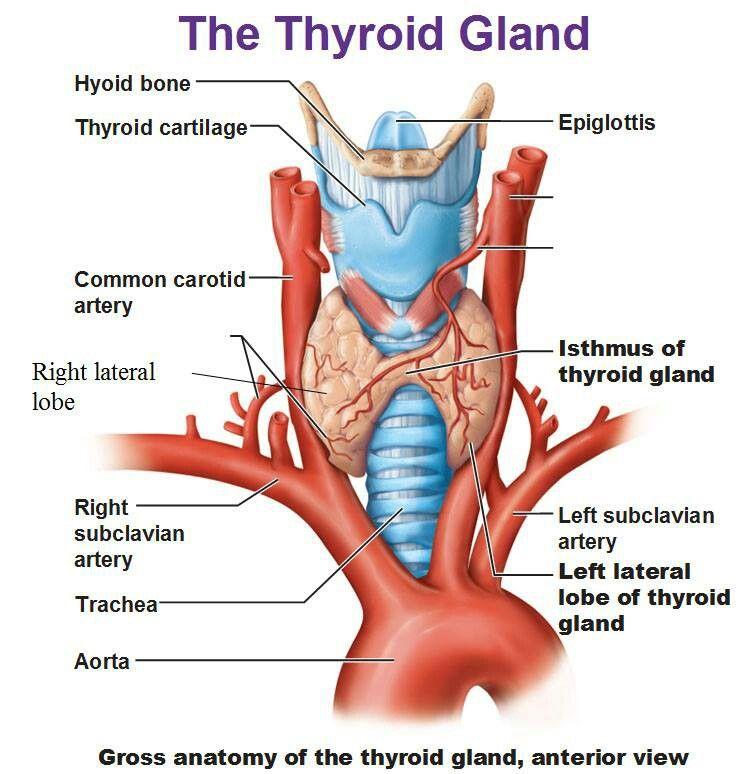 The Thyroid Gland Exam 4 Pinterest Thyroid Gland Thyroid And