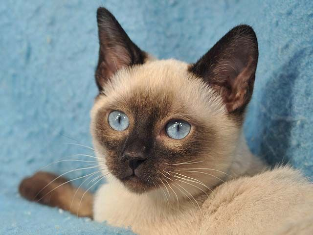 13 Smartest Cat Breed In The World Cat Furry Tonkinese Kittens