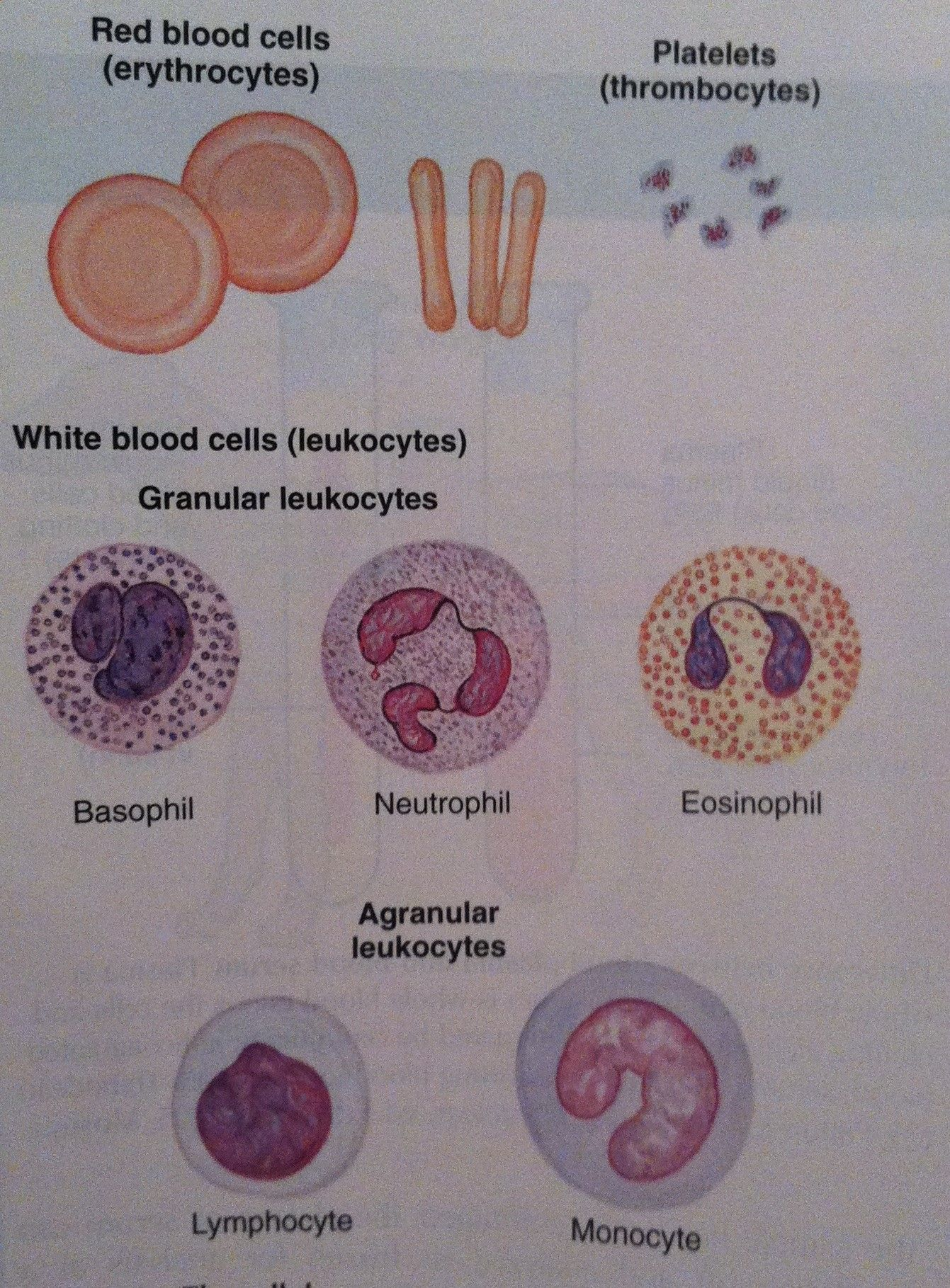 Blood cell components, blood cell smear from Colville and Bassert ...
