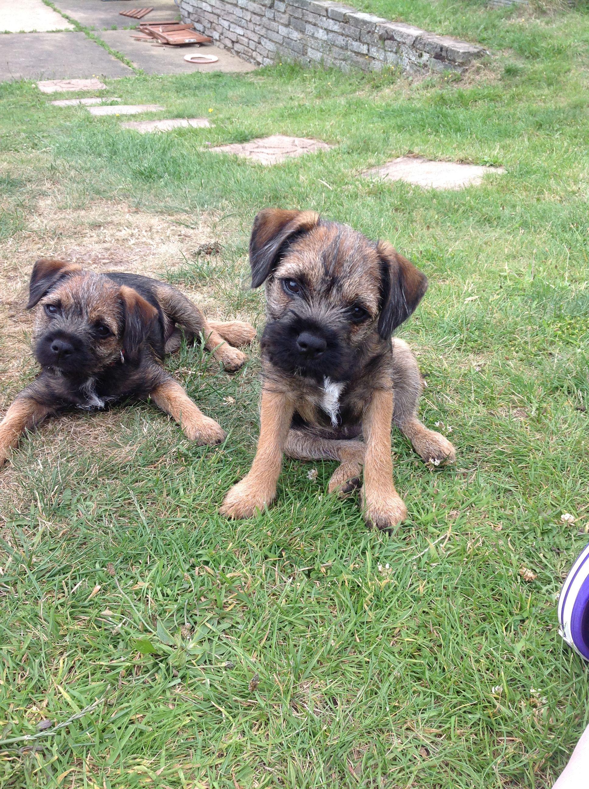Pin Auf Border Terrier