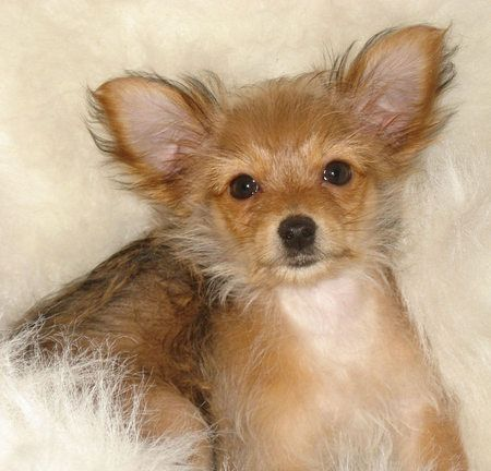 Chihuahua yorkie mix...chorkie ) chorkie Pinterest