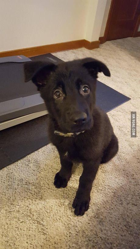 Meet Our Newest Family Member Zeke Is A 10 Week Old Black German