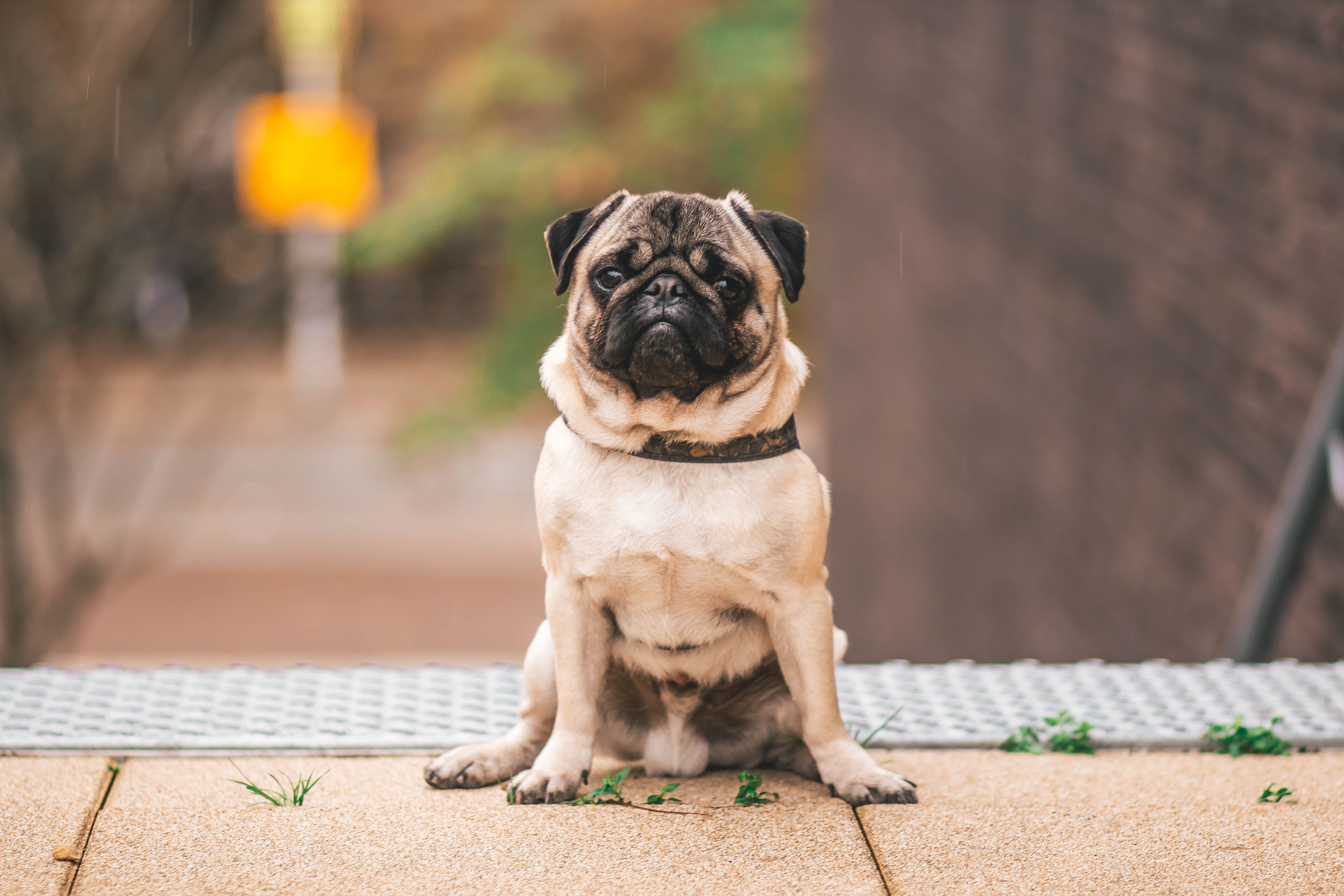 Pin on Pug Necklaces