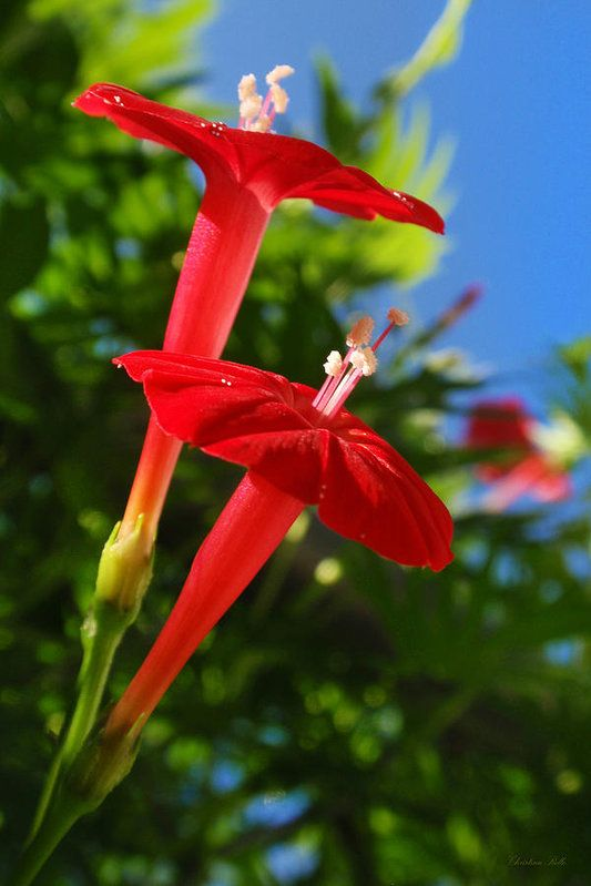 Cardinal Climber Flowers Print by Christina Rollo. All prints are professionally printed, packaged, and shipped within 3 - 4 business days. Choose from multiple sizes and hundreds of frame and mat options.